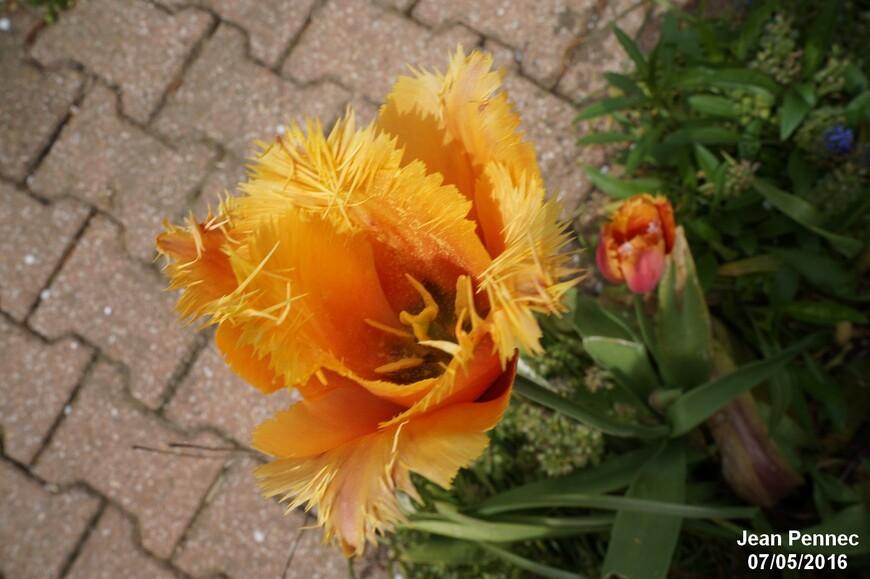Tulipe sorbet 2016