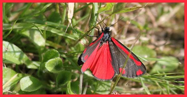 papillon rouge et noir7