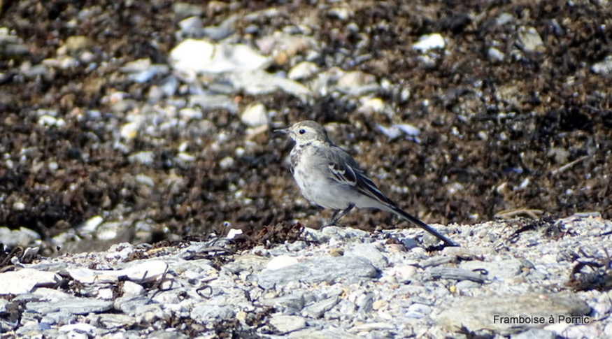 Oiseaux du littoral de la côte de Jade