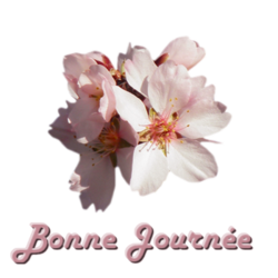 Branches d'Amandiers en fleurs