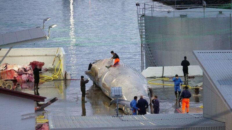 Islande: Des pêcheurs auraient tué une baleine bleue, une espèce protégée depuis 1986