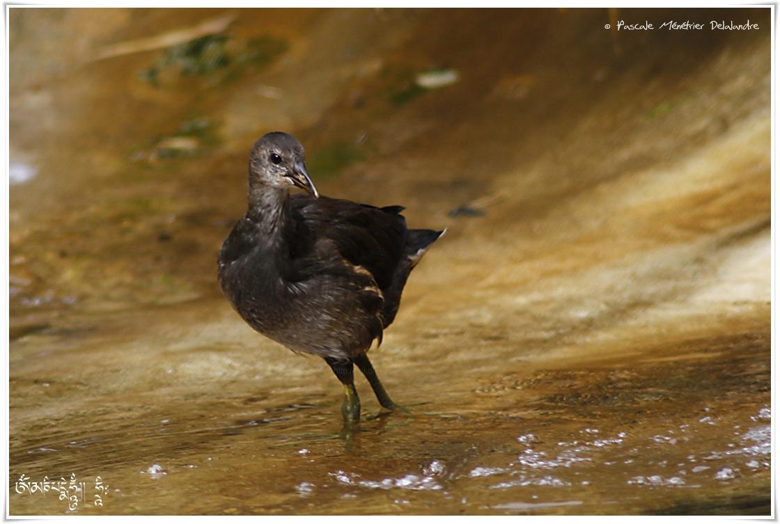 Gallinule poule-d'eau juvénile - Gallinula chloropus - Common Moorhen