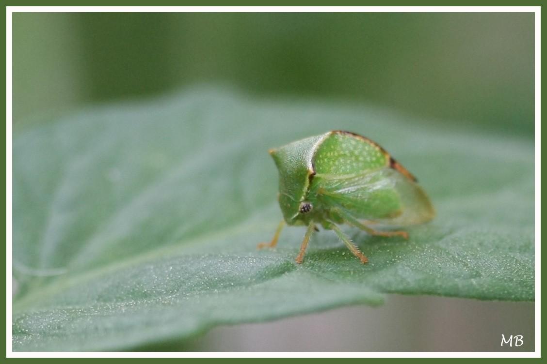 Insectes cicadelle bison 0779