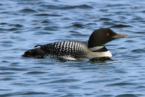 Plongeon Imbrin (Great Northern Loon)