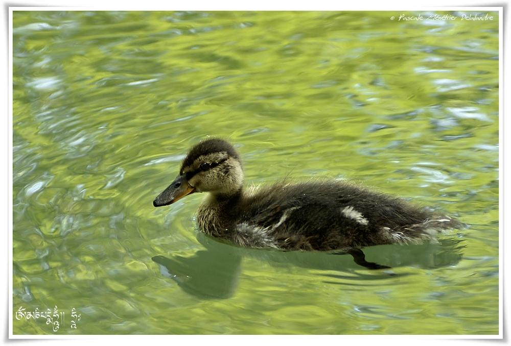 Canard colvert ♀ et ses petits - Anas platyrhynchos - Mallard
