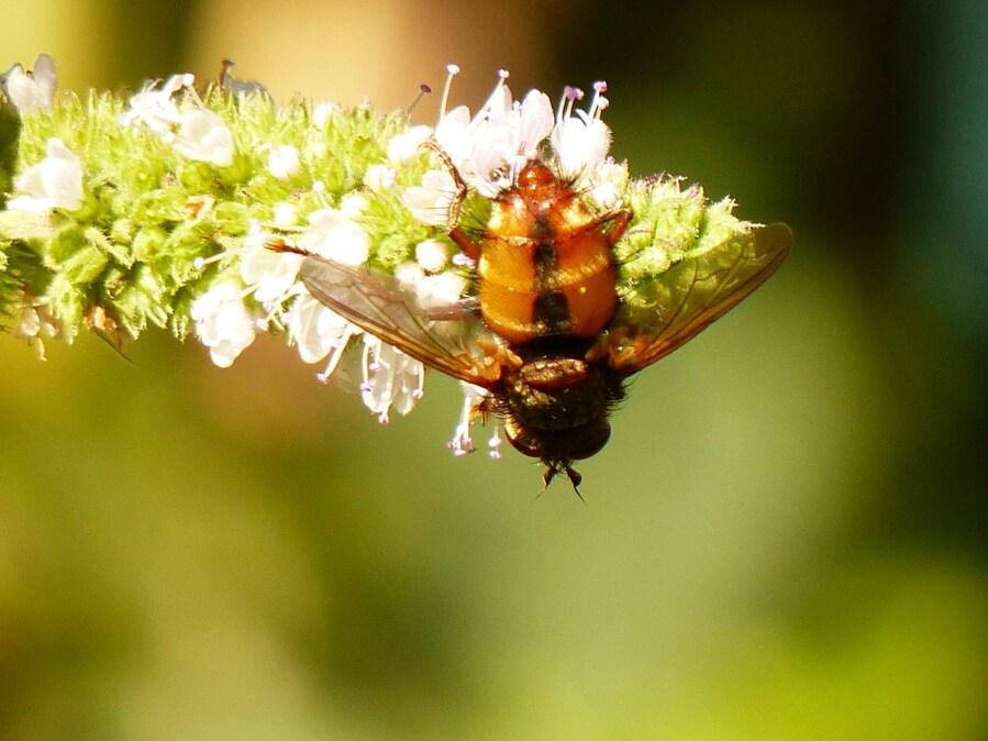 Tachinaire ou mouche des chenilles