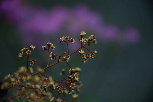 Cotinus en fleurs