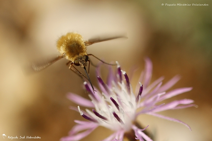 Bombyle ♀ - Bombylius minor