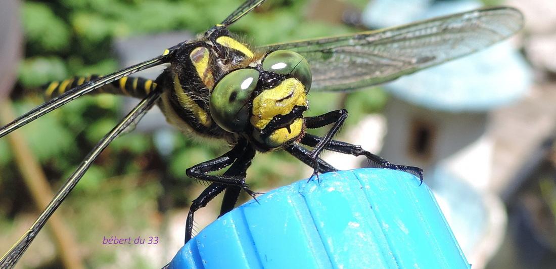 sauvetage d'une libellule sur mon bassin !