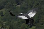Condor des Andes