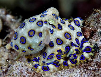 Mignons octopus