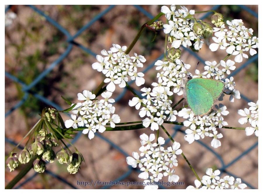 Thécla de la ronce - argus vert