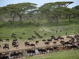 gnous-serengeti-tanzanie-photos-prises-plein-mouvement 1917