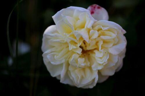 Les roses de Warren : Daniel mon Ami