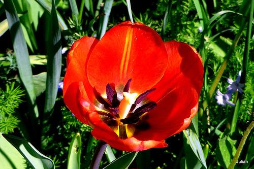 Les tulipes de mon jardin !