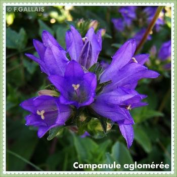 Campanule aglomérée-Campanula glomerata