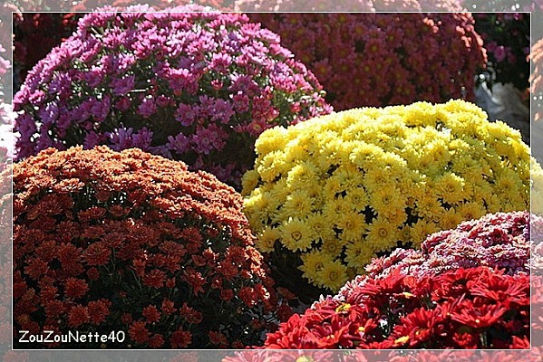 CHRYSANTHEME-N--5--.jpg