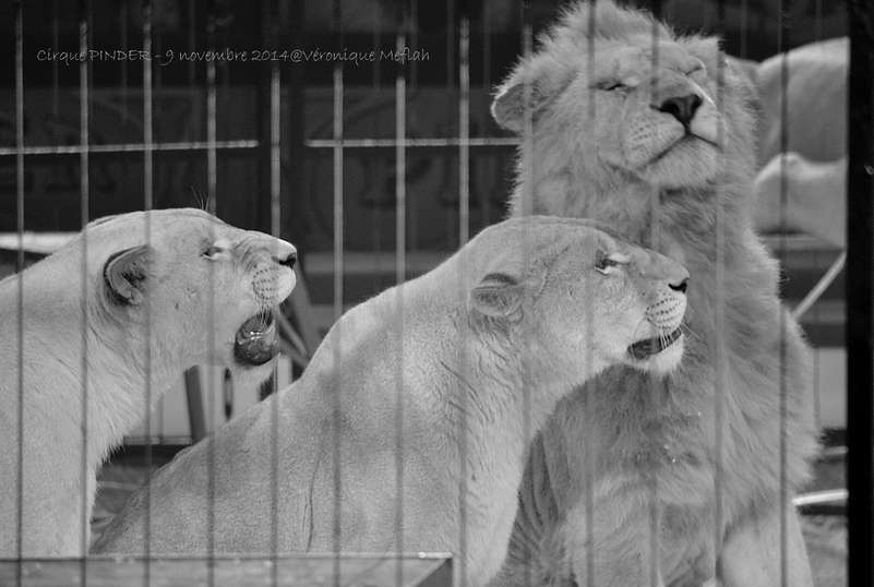Cirque Pinder dans Pinder fête ses 160 ans ! Frédéric Edelstein et ses 12 lions blancs !