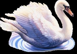Oiseaux,cygne