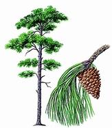 """Résultat de recherche d'images pour """"pin arbre"""""""