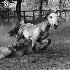 cheval au galop, sensualité animale, la puissance à l'état pur.