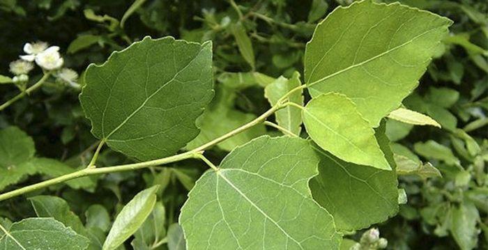Осиновый лист в лечении геморроя