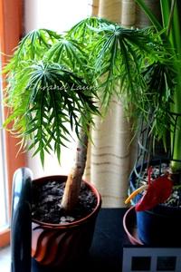 Euphorbia Jatropha Multifida