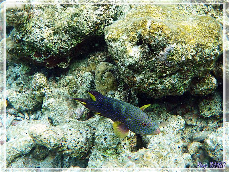 Mérou croissant de lune ou Loche-caméléon ou Croissant queue jaune spécimen bleu, Yellow-edged lyretail (Variola louti) - Moofushi - Atoll d'Ari - Maldives