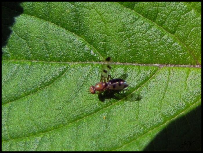 Geomyza tripunctata.