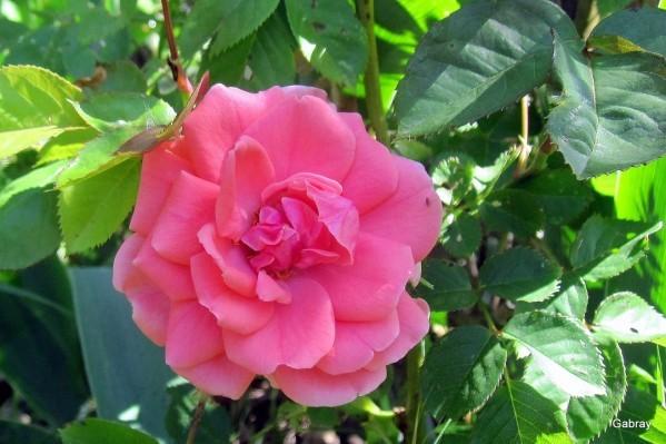 o08 - Rose et moucheron