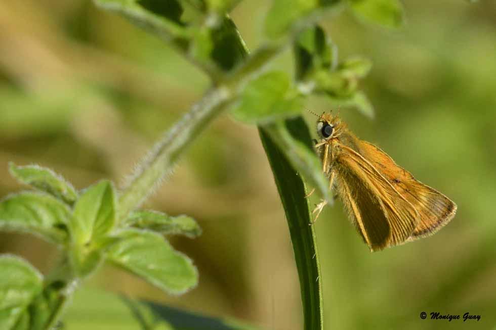 Papillon Sylvaine ou Actéon.