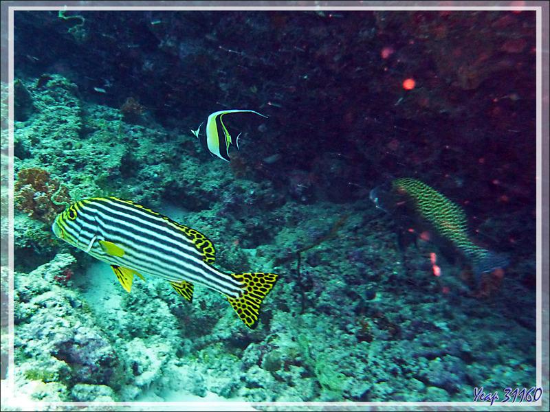 Diagramme ou Gaterin oriental, Indian ocean oriental sweetlips (Plectorhinchus vittatus) - Moofushi - Atoll d'Ari - Maldives