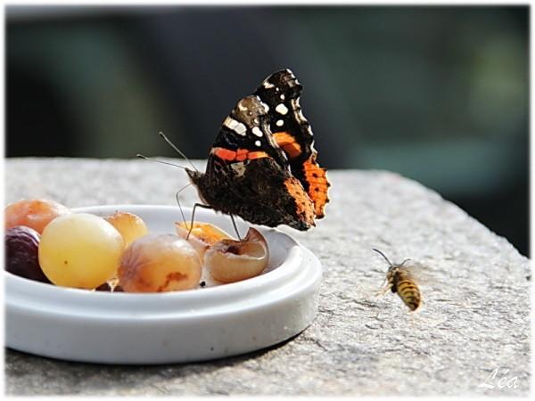 Papillons-6104-vulcain-et-guepe.jpg