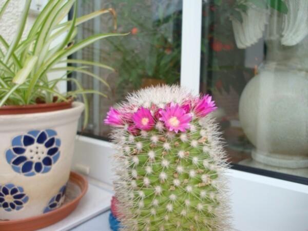 le-cactus-rose-copie-1.jpg