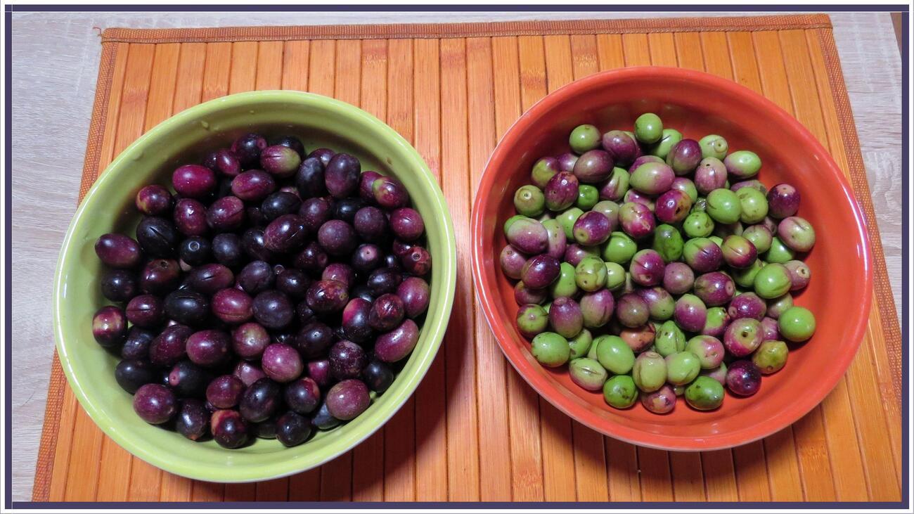 Ma récolte d'olives