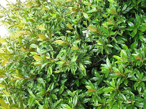 arborétum chamberet-magnolia de soulange-