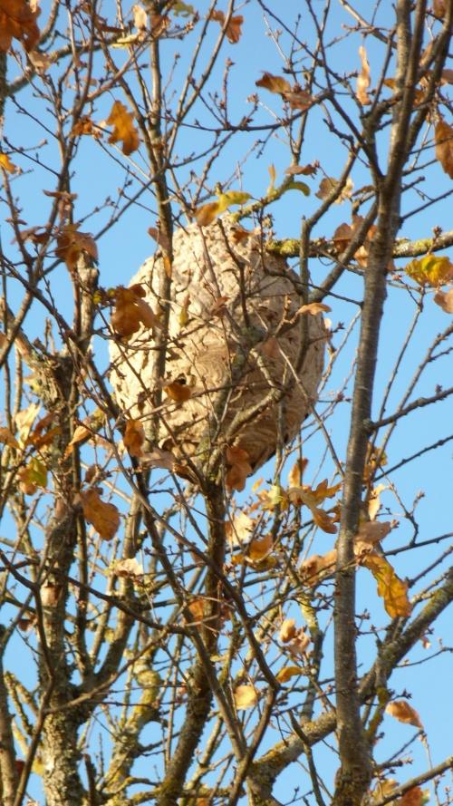frelon asiatique nid et photos de mr RAZET étaules