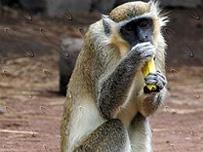Les singes sacrés de Soko (Côte d'Ivoire)