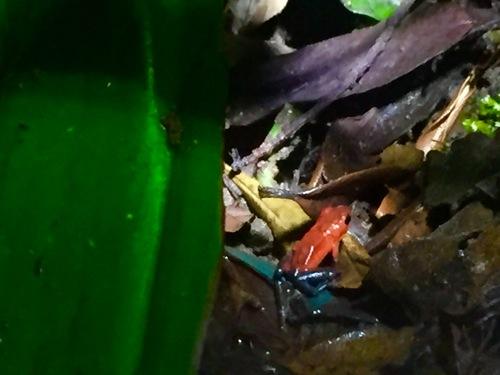 Costa Rica grenouilles et crapauds