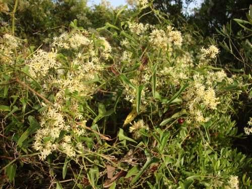 Vertus médicinales des plantes sauvages : Salsepareille d'Europe