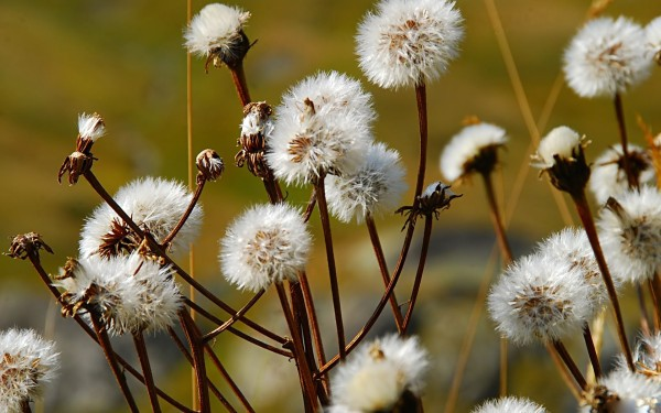 Wild_dandelion_wildflower_photography-copie-1.jpg