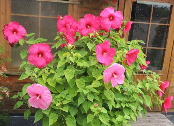 Hibiscus-moscheutos.jpg