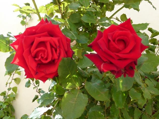 Roses rouges au parfum subtile et délicieux.