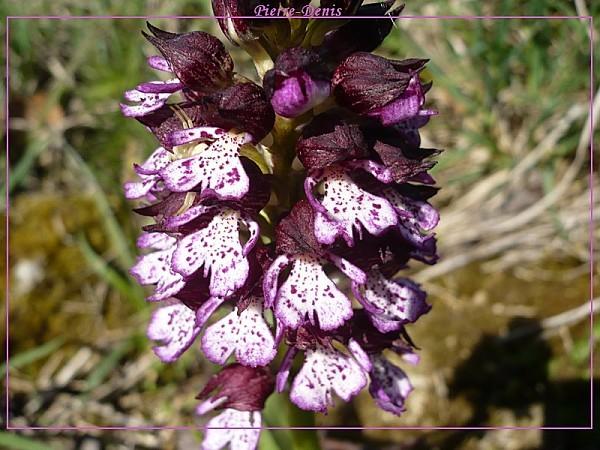 Purpurea3