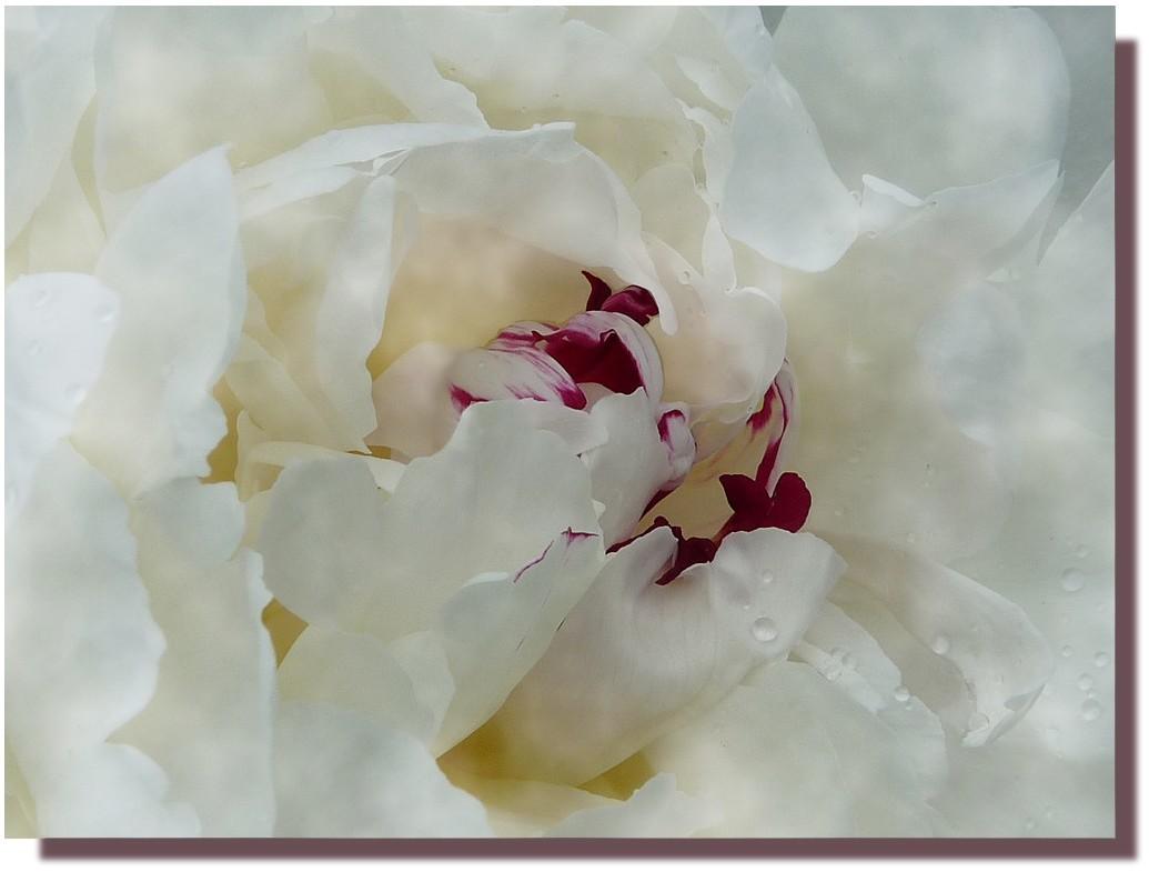 pivoine à la rose 1