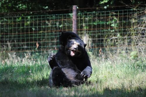 (23) L'ours à lunettes.