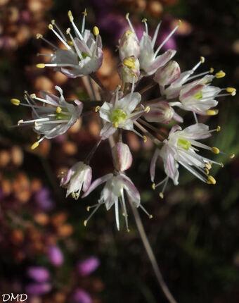 Allium ericetorum  -  ail des bruyères