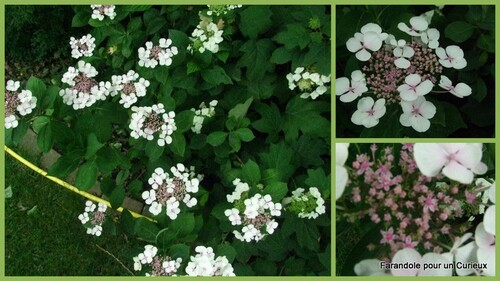 Hydrangea en fleurs