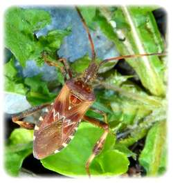 Leptoglossus occidentalis, la punaise californienne