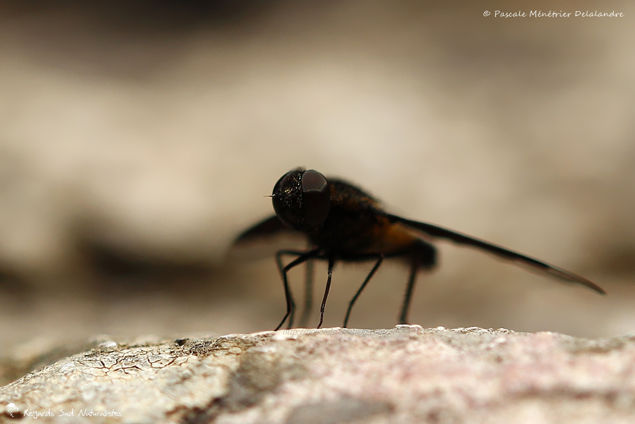 Hemipenthes morio (Linnaeus, 1758 )-  Anthracine morio - Bombyliidae